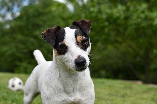 Jack Russel teriér - oblíbený malý pes vhodný do bytu