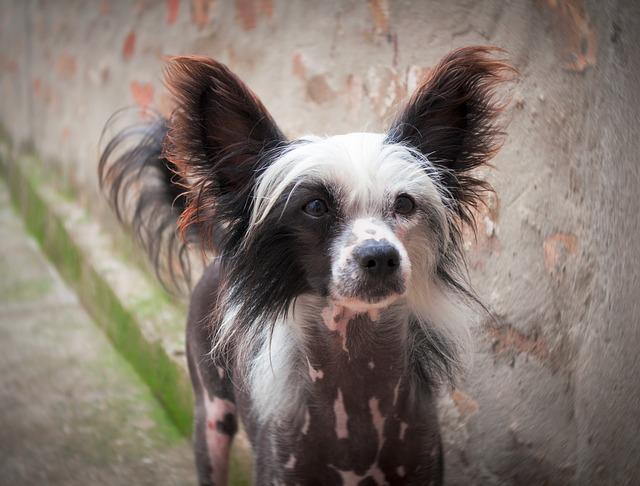 Čínský chocholatý pes - oblíbený malý pes vhodný do bytu