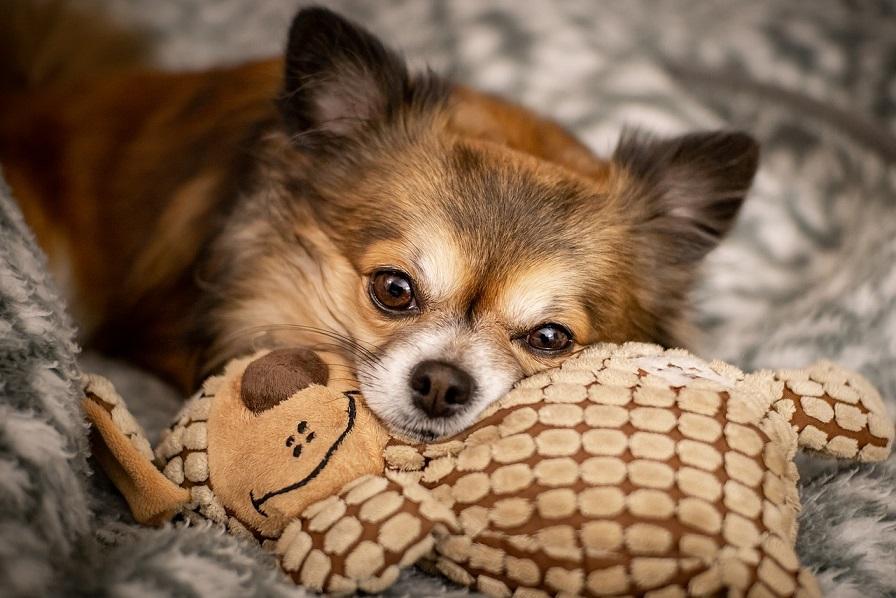 Čivava - oblíbený malý pes vhodný do bytu