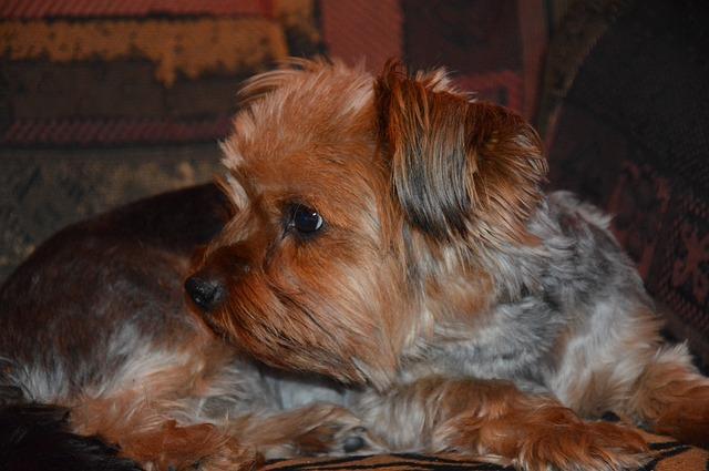 Yorkšírský teriér - oblíbený malý pes vhodný do bytu