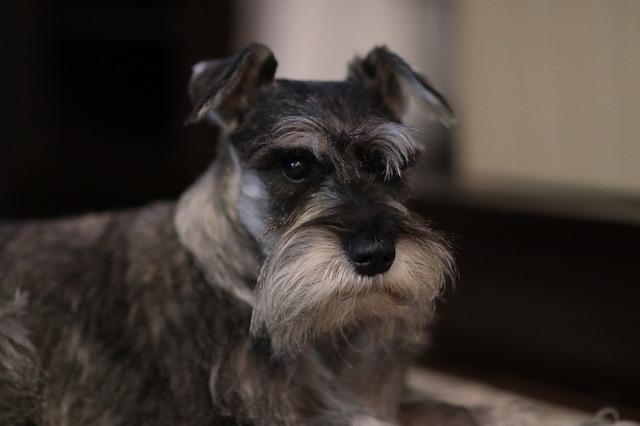 Knírač malý - oblíbený malý pes vhodný do bytu