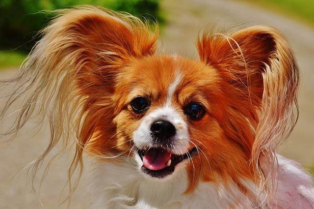 Papillon - oblíbený malý pes vhodný do bytu