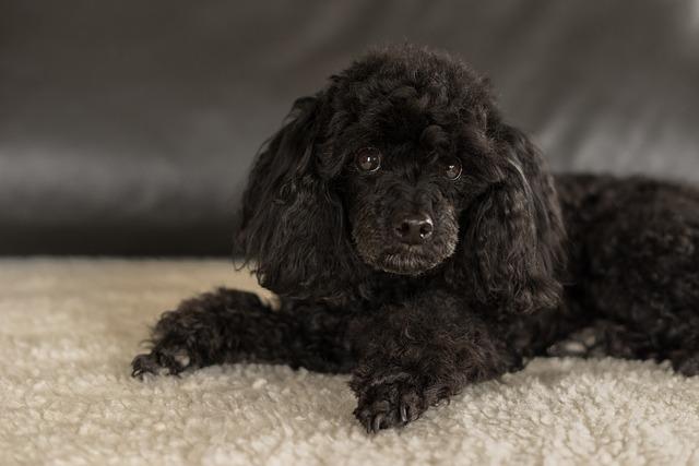 Pudl - oblíbený malý pes vhodný do bytu